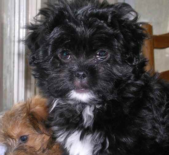 Japanese Chin Toy Poodle Mix