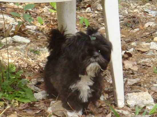 Cassidy the Shih Apso