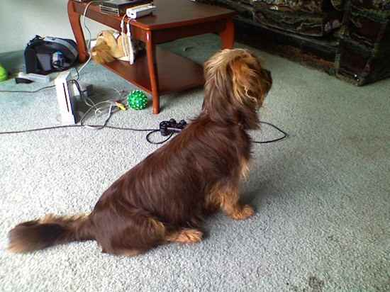 Silky Terrier Shih Tzu Mix More Silky Tzu Pictures