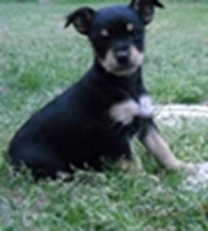 Name: ABBIE Breed: Miniature Schnauzer Mix Gender: Female Born: 1/1 ...
