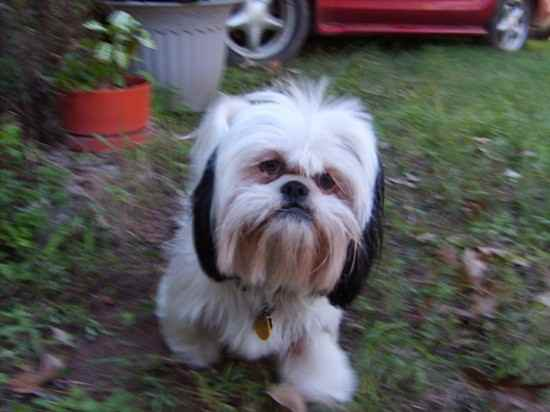 Cookie the Shih Apso