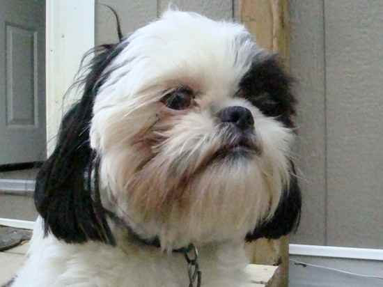 Ceiliedh  (Caley) the Shih Apso