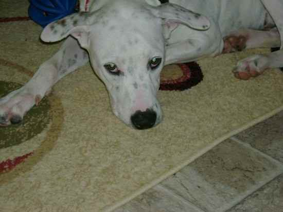 Name: Pierre Breed: Dalmatian Mix Gender: Male Born: 3/27/2008 From ...