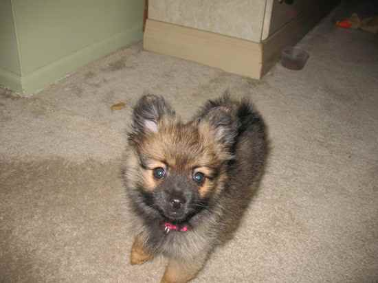 Collie Pomeranian Mix