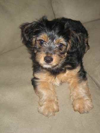 Yorkshire Terrier Mix Yorkie And Bichon Mix ...