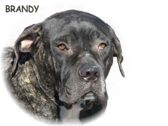 Brandy the American Bandogge
