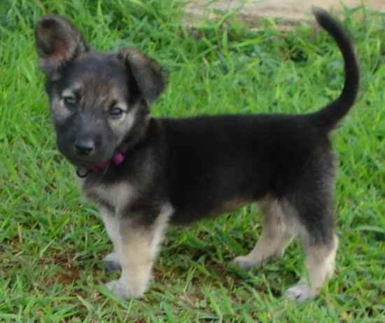 Name: AbbyBreed: German Shepherd Dog MixGender:FemaleBorn: 10/2