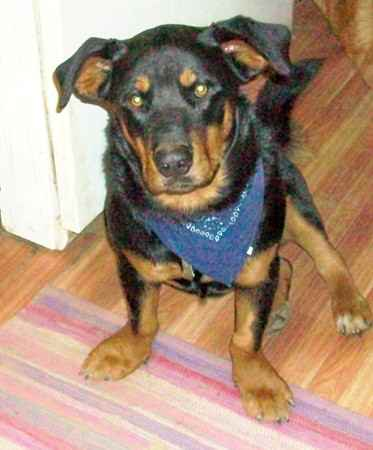 Lil Man Kane the Rottweiler Mix's Photo Gallery