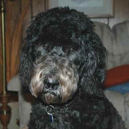 Giant Dog Breeds For Sale
