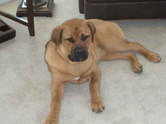 English Mastiff Shepherd Mix English mastiff & rotweiler