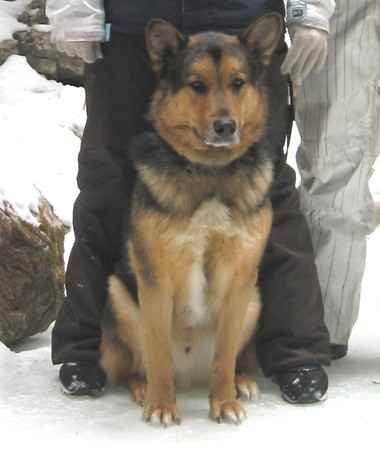 Name: JakeBreed: Alaskan ShepherdGender:MaleBorn: 10/1/2005From ...