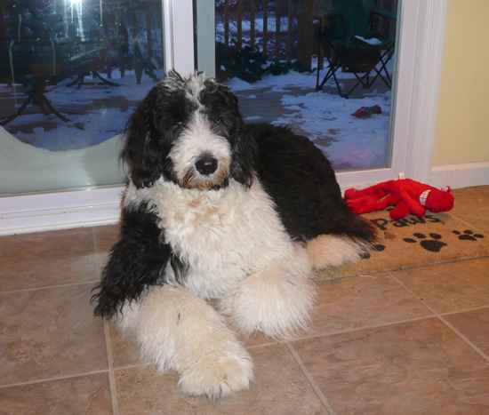 Moe The Old English Sheepdog Mix Designer Dog Photo