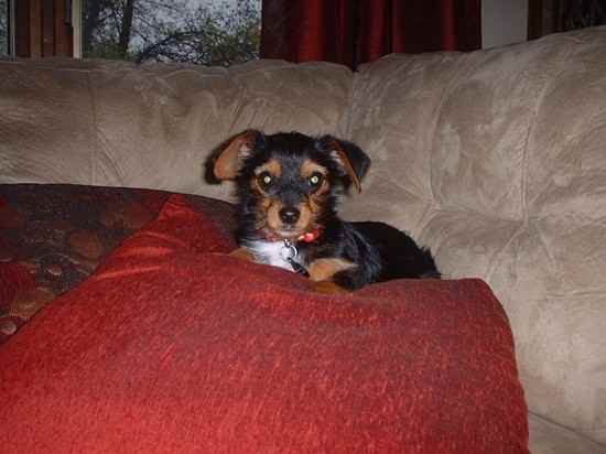 dexter the King Charles Yorkie