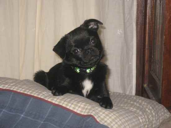 Phineas the Pom-A-Pug's Photo Gallery