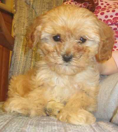 Lexy the Cavapoo