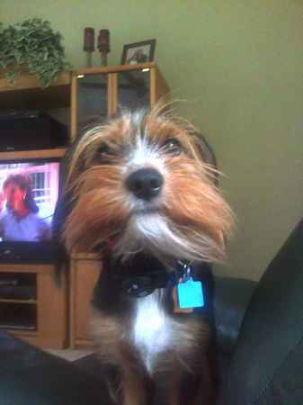 Clyde the King Charles Yorkie