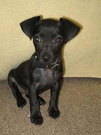 Pics For > Black And White Chiweenie