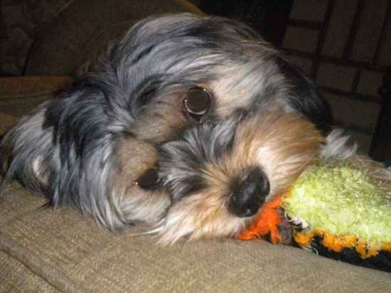 Popsicle the Yorkie-Apso