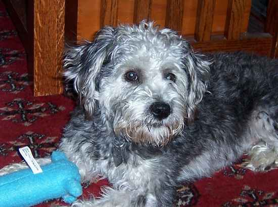 Shelby the Schnoodle