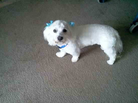 Maltipoo Haircuts http://www.designermixes.org/pictures/picture.aspx