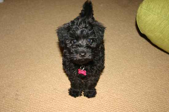 Macy the Schnoodle