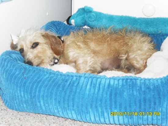 Name: Cooper Breed: Miniature Schnoxie Gender: Female Born: 2/12/2009 ...