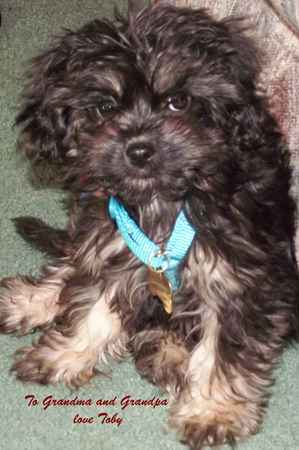 Toby James Wirth the Cavapoo