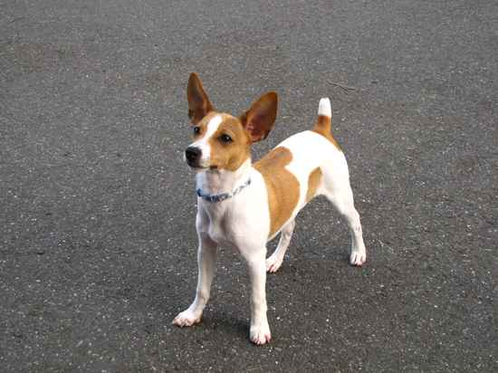 BUDDY the Foxy Rat Terrier