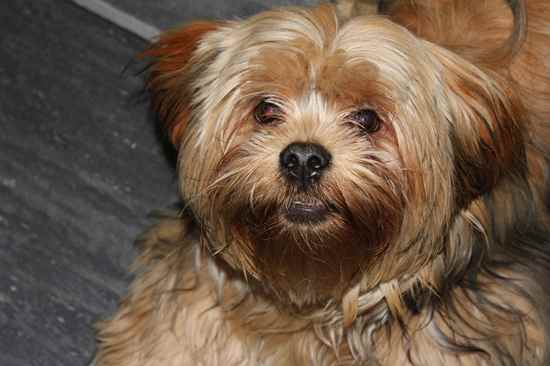 More Yorkie-Apso Pictures
