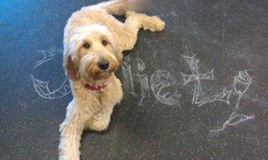 Juliet Rose the Irish Doodle - Designer Dog Photo Gallery ...