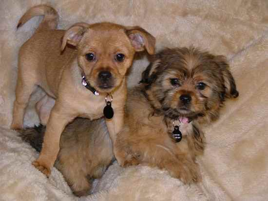 Silkinese from the same litter) Mom is a purebread Silky Terrier, Dad