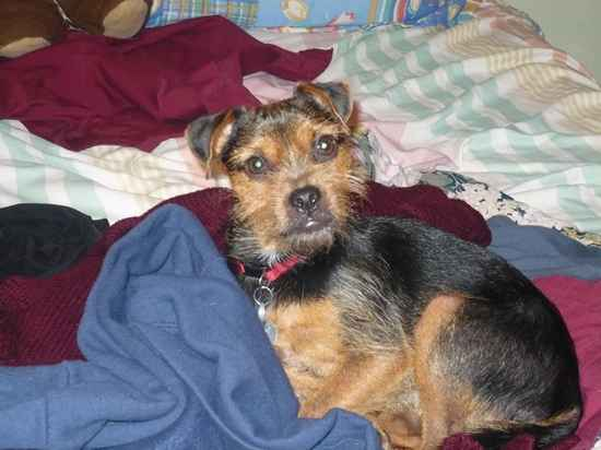 Dudley the Yorkie Russell