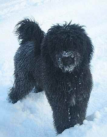 talula the bernedoodles photo gallery