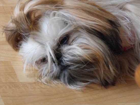 Honey the Shih Tzu