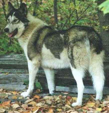 Native American Indian Dog Breed For Sale