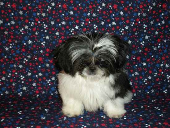 Sundance the Shih Tzu