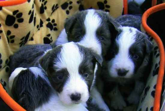 Berts Babies the Border Collie