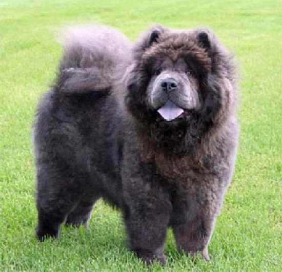Genevere the Chow Chow - Purebred Dog Photo Gallery (799)