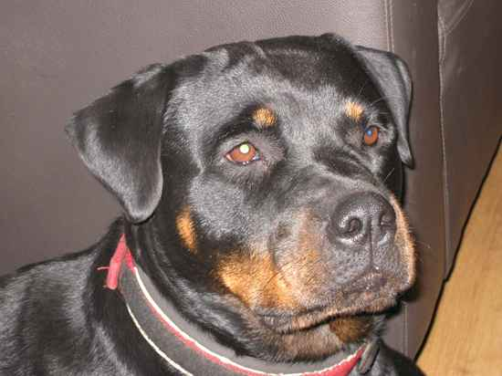 Temperance the Rottweiler