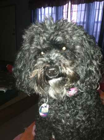 Molly the Poodle