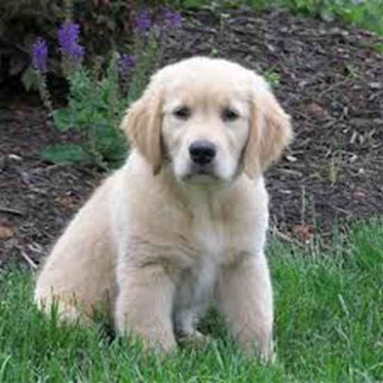 Mandy the Golden Retriever