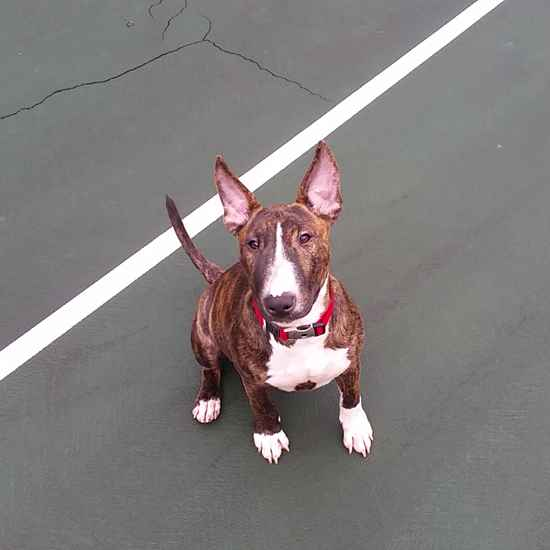 Arya the Miniature Bull Terrier